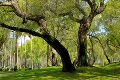 Großer Baum im Park Lizenzfreie Stockfotos