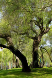 Großer Baum im Park Lizenzfreies Stockfoto