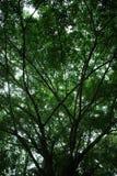 Großer Baum im tropischen Wald Stockfotografie