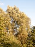 Großer Baum im Wald mit flüssigem Gold der Blätter im Sonnenuntergang Lizenzfreies Stockfoto