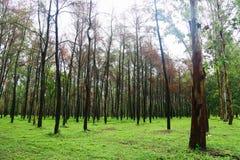 Großer Baum im Wald mit Tageslicht oder Sonnenlicht, Waldhintergrund mit leerem Bereich für Text und für Stützdarstellungsdatei Stockbilder