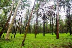 Großer Baum im Wald mit Tageslicht oder Sonnenlicht, Waldhintergrund mit leerem Bereich für Text und für Stützdarstellungsdatei Stockfoto
