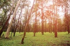 Großer Baum im Wald mit Tageslicht oder Sonnenlicht, Waldhintergrund mit leerem Bereich für Text und für Stützdarstellungsdatei Stockbild