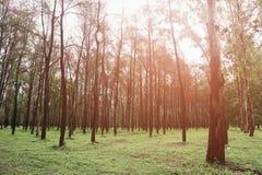Großer Baum im Wald mit Tageslicht oder Sonnenlicht, Waldhintergrund mit leerem Bereich für Text und für Stützdarstellungsdatei Lizenzfreies Stockfoto