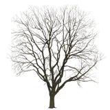 Großer Baum im Winter auf einem weißen Hintergrund Lizenzfreie Stockfotos