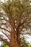 Großer Baum in Inyo-Park, Kalifornien Stockfotos