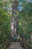 Großer Baum Königs Edward VII Stockfotografie