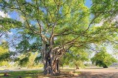 Großer Baum mit üppigem Laub lizenzfreie stockfotografie