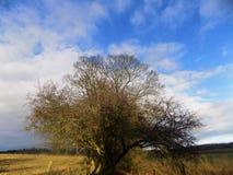 Großer Baum mit blauem Himmel, Northumberland, nr Crookham, England Großbritannien Lizenzfreie Stockfotografie