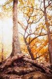 Großer Baum mit freien offenen Wurzeln im Herbstpark Lizenzfreies Stockbild