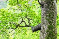 Großer Baum mit Niederlassungen Stockfotos