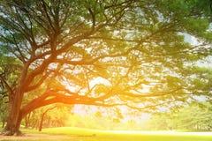 Großer Baum mit Niederlassungen Stockfoto