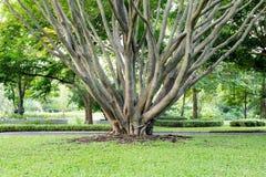 Großer Baum mit Niederlassungen in einem Park Lizenzfreie Stockfotos
