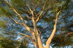 Großer Baum mit Niederlassungen und Blättern Lizenzfreie Stockfotos