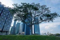 Großer Baum mitten in dem Boden zwischen den Gebäuden Stockbild