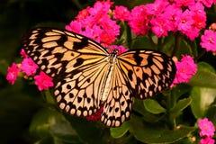Großer Baum-Nymphen-Schmetterling Lizenzfreies Stockfoto