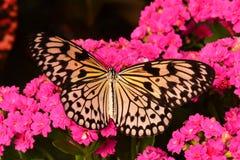 Großer Baum-Nymphen-Schmetterling Stockbild
