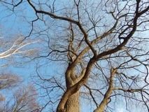 Großer Baum ohne Blätter Lizenzfreies Stockfoto