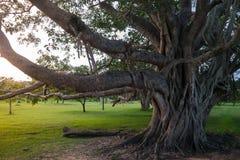 Großer Baum Platanenbaum in Sri Lanka lizenzfreie stockfotos