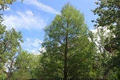 Großer Baum Sanford FL Park Stockbild