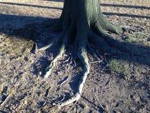 Großer Baum-Stamm mit Wurzeln im Frühjahr Lizenzfreie Stockfotos
