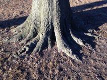 Großer Baum-Stamm mit Wurzeln im Frühjahr Lizenzfreies Stockbild