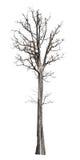 Großer Baum sterben Isolat auf Weiß Lizenzfreie Stockfotografie