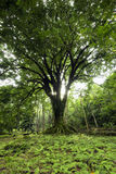 Großer Baum umgeben durch kleine Farne in Ke'anae-Arboretum, Maui, Hawaii lizenzfreie stockbilder