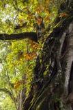 Großer Baum und Niederlassung mit bunten Blättern, Shads stockfotos