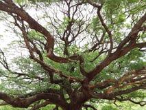 Großer Baum und Niederlassungen Stockfoto
