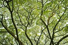 Großer Baum und Niederlassungen des Baums obenliegend Stockbilder