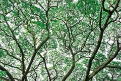Großer Baum und Niederlassungen des Baums obenliegend Lizenzfreies Stockbild
