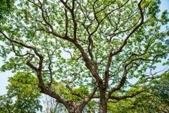 Großer Baum- und Niederlassungsnaturhintergrund Stockfoto