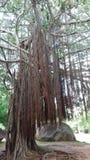 Großer Baum und Reben lizenzfreie stockfotografie