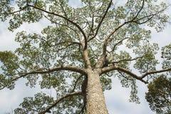 Großer Baum- und Wolkenhimmel Lizenzfreie Stockfotos