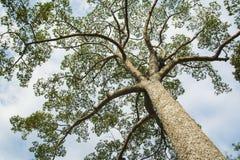 Großer Baum- und Wolkenhimmel Stockfotos