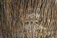 Großer Baumstammabschluß oben mit Fasern Stockfotos