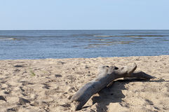 Großer Baumstumpf auf Sandstrand Lizenzfreies Stockbild