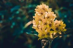Großer Blütenstand von gelben Blumen des kleinen Feldes auf einem Grün stockfotografie