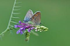 Großer blauer Schmetterling, der Sex hat Stockfotografie