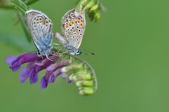 Großer blauer Schmetterling, der Sex hat Stockbilder