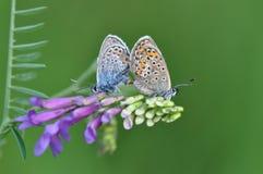 Großer blauer Schmetterling, der Sex hat Stockfoto