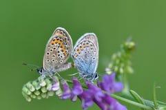Großer blauer Schmetterling, der Sex hat Lizenzfreie Stockfotografie