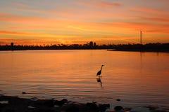 Großer Blaureiher-Natur ` s bester Fischer Stockfotografie