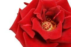 Großer Blick auf eine Rose auf Weiß Lizenzfreies Stockbild