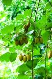 Großer Block der Kiwifrucht Stockbild