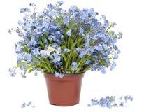 Großer Blumenstrauß von den Vergissmeinnichten (Myosotis) Lizenzfreie Stockfotos