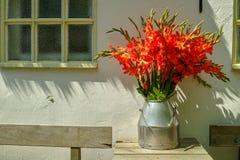 Großer Blumenstrauß von roten Gladioleblumen in der alten Milch kann auf Tabelle ou stockfotografie
