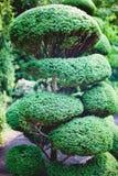 Großer Bonsai-Baum Stockfoto