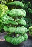 Großer Bonsai-Baum Lizenzfreies Stockbild